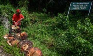 Seorang buruh tani memanen kelapa sawit di Perkebunan PTPN VII Kebun Gedeh, Kabupaten Cianjur, Jawa Barat, Senin (3/12/2018).